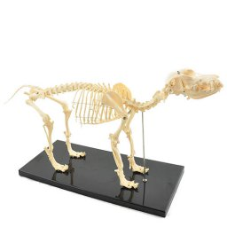 Canine skeleton (artificial), anatomische skelet hond
